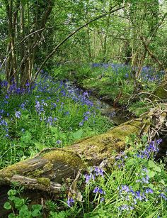 Bluebell Wood By John Topman. Look and see every little flower Forest Garden, Forest Landscape, Garden In The Woods, Walk In The Woods, Forest Plants, Beautiful World, Beautiful Images, Beautiful Gardens, Woodland Flowers