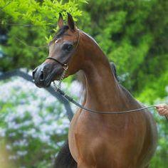 Donna Molta Bella SRA (DA VALENTINO × RD FABREANNA) 2012 bay mare bred by Serr'Raa Arabians, Minnesota