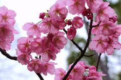 Sakura Appreciation Blog : Photo