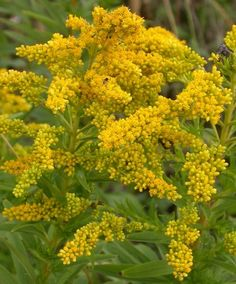 Nebraska state flower - Goldenrod