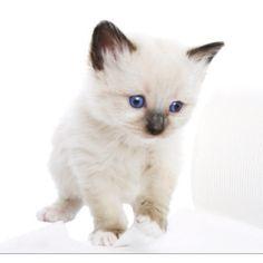 Snowshoe kitten..so cute
