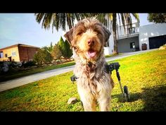 DOG IN WHEELCHAIR ABANDONED AT THE AIRPORT BY HIS FAMILY GETS A NEW LIFE ! SHARE - YouTube