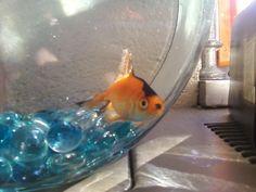 Heil Goldfish