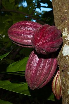 Cabosses de cacao / cacao fruit  - Madagascar © michel BORDIEU Colorful Fruit, Exotic Fruit, Tropical Fruits, Exotic Plants, Cocoa, Fresh Fruits And Vegetables, Fruit And Veg, Madagascar, Fruit Trees