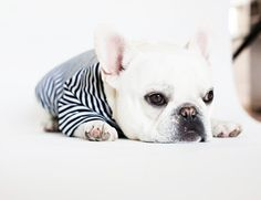 Theo, the  French Bulldog, modeling a shirt from pipolli