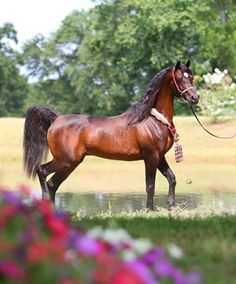 Gazal Al Shaqab (Anaza Farid x Kajora) Led a very impressive show career including World Champion Arabian Senior Stallion at Salon Du Cheval. But his true accomplishments have been as a sire of Champions. His get include Marwan Al Shaqab, Marajj, Pianissima, Emandoria, Brixx IA, Equifor...The list goes on!