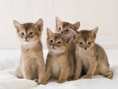 Abyssinian kittens <3 - Spoil your kitty at www.coolcattreehouse.com
