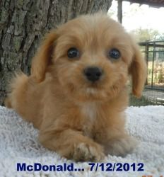 McDonald is an adoptable Poodle Dog in Oak Grove, MO. We have 5 Poodle/Chihuahue, They are called PooChi in the world of hybrid puppies. Momma is ' PREGO' , She is a long hair chihuahua and has been a...