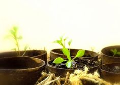 homework: today's assignment - be inspired {creative inspiration for home and life}: The Dirt: paper towel roll seedling pots