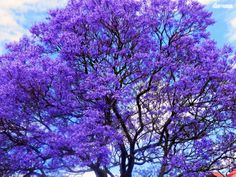 ✣.... Beauty is the gift from God.  ✣. Aristotle  Jacaranda Tree Photograph © ellen vaman www.facebook.com/ellenvaman