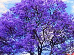✣.... Beauty is the gift from God.  ✣. Aristotle  Jacaranda Tree Photograph © ellen vaman www.facebook.com/ellenvaman