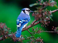 Blue Bird on Branch Wallpaper HD Nice Bird Wallpaper, Widescreen Wallpaper, Animal Wallpaper, Wallpapers, Jay Bird, Blue Bird, Bird Pictures, Animal Pictures, Parrot Facts
