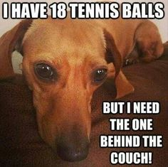 I have 18 tennis balls, but I need the one behind the couch! Story of a dachshund! Dachshund Funny, Dachshund Love, Funny Dogs, Funny Memes, Daschund, Dapple Dachshund, Dachshund Puppies, Dachshund Quotes, Funny Quotes