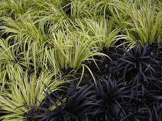 Black Mondo Grass, Black Grass, Green Grass, Landscape Design, Garden Design, Lily Turf, Drought Tolerant Garden, Winter Plants, Hardy Plants