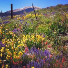 Gunnison Valley wildflowers