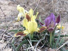 8-14(-25) cm boylanabilen, çok yıllık, rizomlu bir bitkidir. Gövde basit ve çok kısa, en çok 6 cm`dir. Yapraklar 0.5-1(-1.3) cm genişlikte, oraksı, grimsi-yeşil renkte, bazen kenarları eflatun renktedir. Çiçeklenme dönemi Mart-Nisan aylarında; çiçekler 1-2 adet, terminal; brakte ve ikincil brakte kayık şeklinde, belirgin omurgalı, 3.5-7 cm, yaklaşık olarak eşit veya ikincil brakte hafifçe daha küçük, yeşil , bazen eflatuna çalar; 2 çiçekli olduğunda içteki ikincil brakte çoğunlukla zarsı...