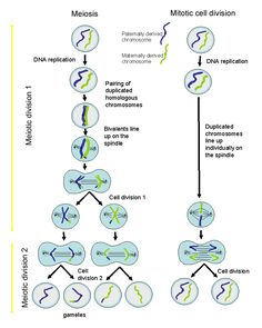 9 best michigan high school biology standard b4 genetics b43 images cell division diagram mitosis is a process of cell division ccuart Image collections