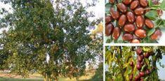 Τζιτζιφιά – Το θεραπευτικό βότανο που είναι γνωστο σαν δέντρο γιατρός Cheese Pies, Holistic Medicine, Healthy Habits, Natural Remedies, Spices, Health Fitness, Healing, Herbs, Apple