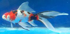 Shubunkin (Gold Fish)