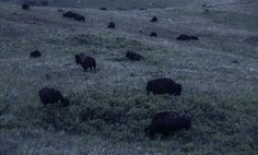 buffalo at night - From the safety of the car. i noticed these shapes in the distance. Distance, Buffalo, Safety, Wildlife, Shapes, Night, Car, Animals, Security Guard