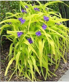 This is one of my favorite spiderworts...sweet kate. It has lime colored leaves and a purple flower.