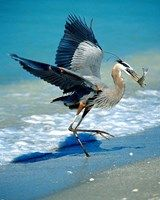 Framed Florida Captiva Island Great Blue Heron bird