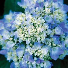 A Love Affair with #Hydrangeas: read it on the Apron Blog by #HomeDepot