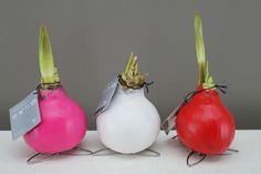 Amaryllis Waxz Vibrant Range - Best4Garden Online Gift Plants Christmas Presents, Xmas, Amaryllis Bulbs, Office Plants, Planting Bulbs, Large Flowers, Online Gifts, Tis The Season, Air Plants