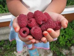 """Увеличение урожайности достигается у кустов малины на второй год, у смородины – на третий год.  """"... Для достижения 10-кратной урожайности малины 30 июня каждого года я  произвожу отщипывание верхней,…"""