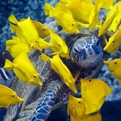 """sea turtle being """"cleaned"""" by yellow tangs"""