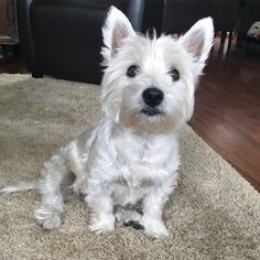 "463 Likes, 12 Comments - Faya the Westie (@faya_the_westie) on Instagram: ""Hey dad, now you're home I guess it's time for dentastix! #instawestie #westhighlandterrier…"""