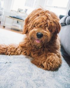 Tbt to the best haircut ever . Red Goldendoodle, Goldendoodle Haircuts, Goldendoodles, Puppy Cut, Cool Haircuts, Hair Cuts, Good Things, Dogs, Instagram