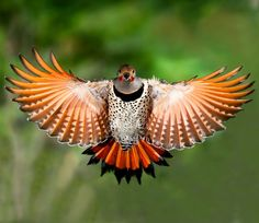 Red Shafted Flicker. This is an incredible photo showing their splendid coloration.