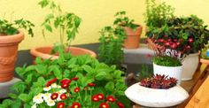 10 piante ornamentali commestibili