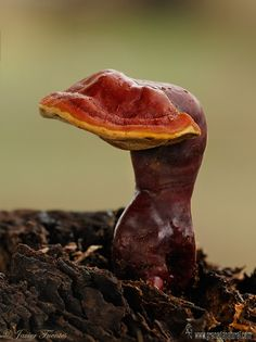 Reishi (Ganoderma Lucidum)