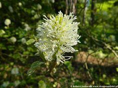 Fotergilla Gardena - Fothergilla gardenii