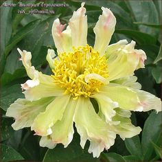 Peony 'Green Lotus'