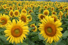 Sunflowers - ひまわり