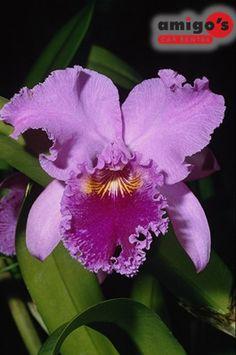 Flor Nacional de Venezuela, la Orquídea
