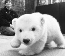 Inspiring image animal, black and white, polar bear #348829 - Resolution 500x399px - Find the image to your taste