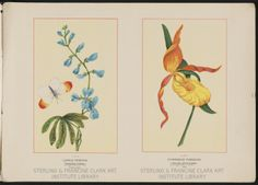 Lupinus perennis and Cypripedium Pubescens. Wild Flowers of America. Flowers of every state in the American Union. By a corps of special artists and botanists .