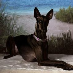 black pharaoh hound - Google Search