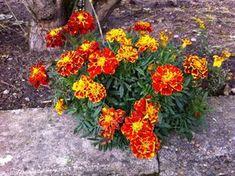 V lete dávala stárka tieto kvietky do pohára s olejom: Mám už po 60 a radím to každému rovesníkovi aj oveľa mladším! Life Is Good, Herbalism, Detox, Diy And Crafts, Health Fitness, Bloom, Healing, Gardening, Flowers