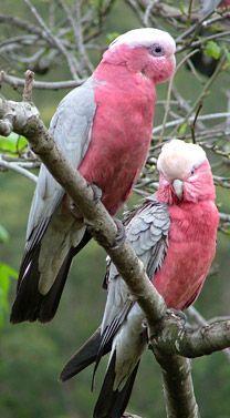 48 Ideas pretty bird flying freedom for 2019 Pretty Birds, Love Birds, Beautiful Birds, Animals Beautiful, Cute Animals, Colorful Birds, Small Birds, Galah Cockatoo, Amazon Birds