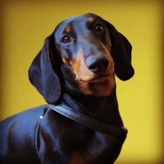 Siem the dachshund! (What a beauty. Short Haired Dachshund, Long Haired Miniature Dachshund, Dachshund Art, Black Dachshund, Daschund, Hot Dog Stand, Dog Shaming, Weenie Dogs, Pet Life