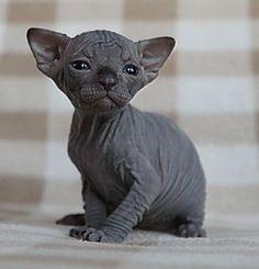 black sphinx cat old black sphynx kitten £ 450 posted 1