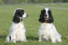 English Cocker Spaniel Dog Breed Information, Pictures . and puppies American Cocker Spaniel, Cocker Spaniel Dog, English Cocker Spaniel, Dog Breed Names, Dog Breeds, Field Spaniel, Spaniel Breeds, Alpha Dog, Companion Dog