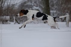 Haldenstövare / Halden Hound / Haldenstovare #Puppy #Dogs #Scenthounds