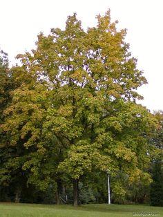 Juharfa, sima zöldlevelű verzió  Acer platanoides