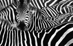 Of all the many hypotheses purporting to explain why zebras are striped, it is perhaps the most enticing.